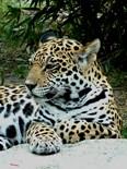 Jaguar Lover