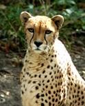 Wildlife Tigers Cheetahs Lions