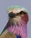 Lilac Breasted Roller Birds